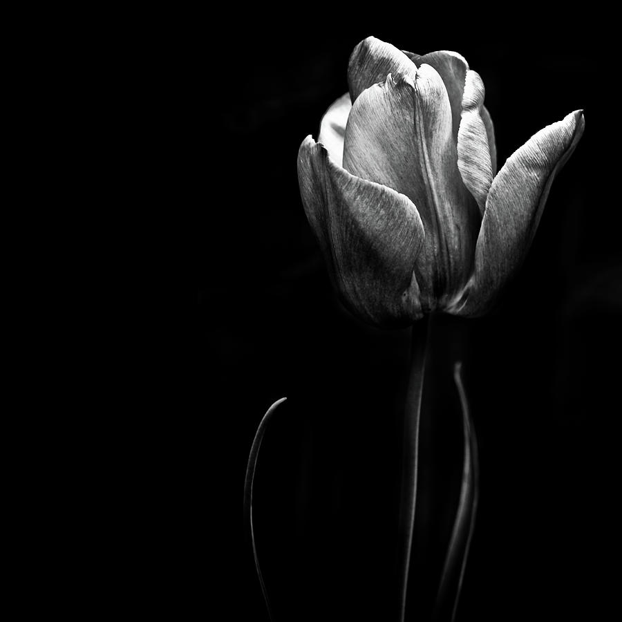 A Tulip Posing
