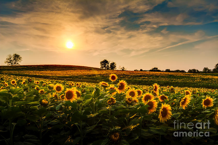 Sunrise Photograph - A View Of A Sunflower Field In Kansas by Tommybrison