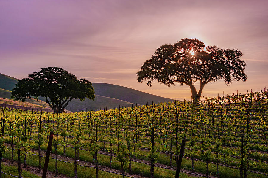 Paso Robles Photograph - A Vineyard Sunrise. by Joseph Smith