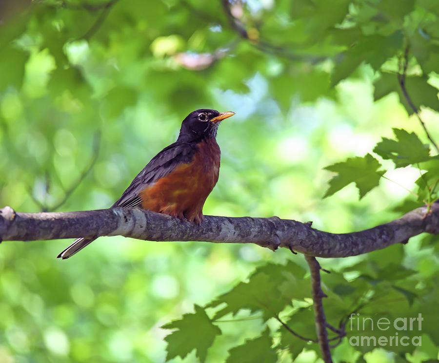 A Welcome Visitor - American Robin by Kerri Farley