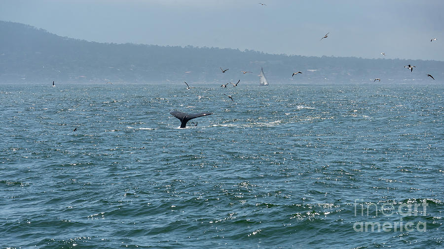 Big Photograph - A Whales Tail Above Water With Sail Boat In The Background by PorqueNo Studios