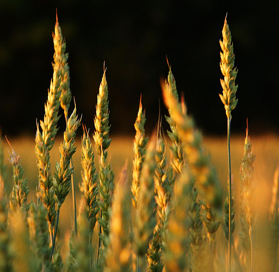 A Wheat Field Towards The End Of The Day Photograph by Ssuni