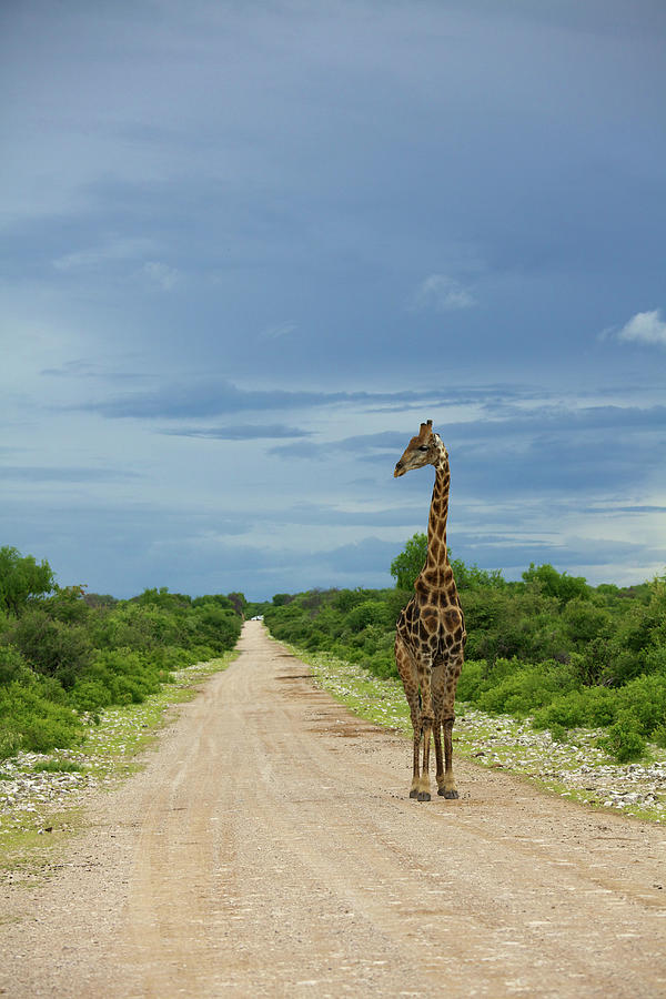 A Wide Angle View Of A Giraffe Walking Photograph by Hphimagelibrary