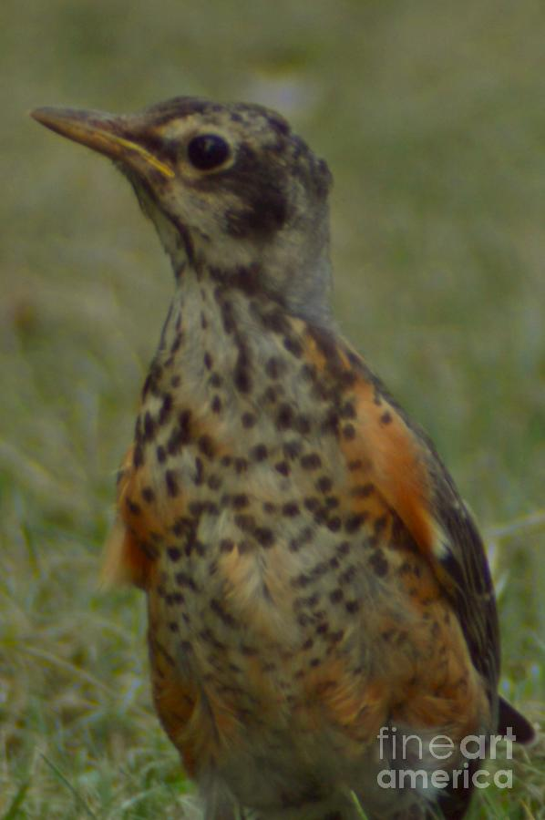 A Young Robin by Sheila Lee