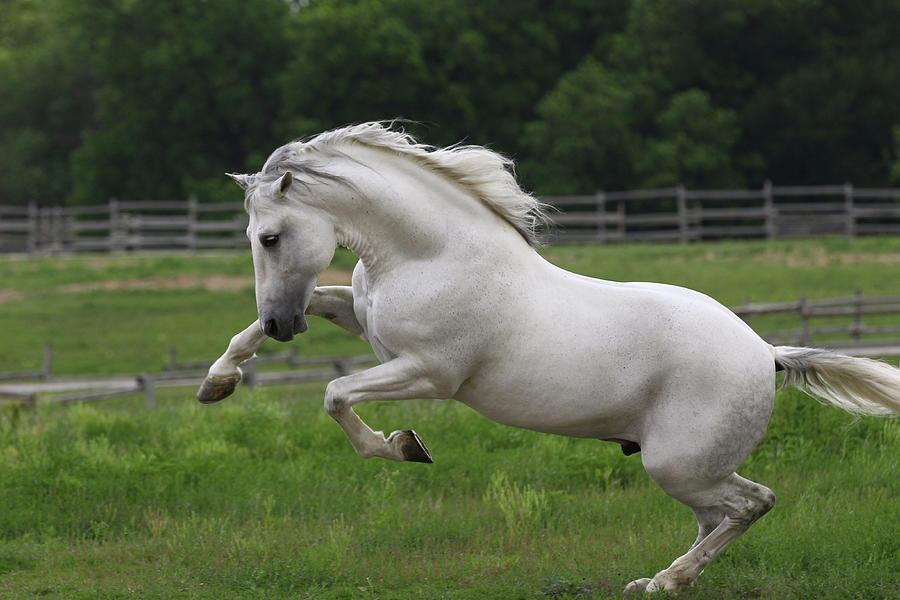 Tx Photograph - A21c9871 Bucking Andalucian Stallion-gallardo-chapel Creek Ranch, Tx by Bob Langrish