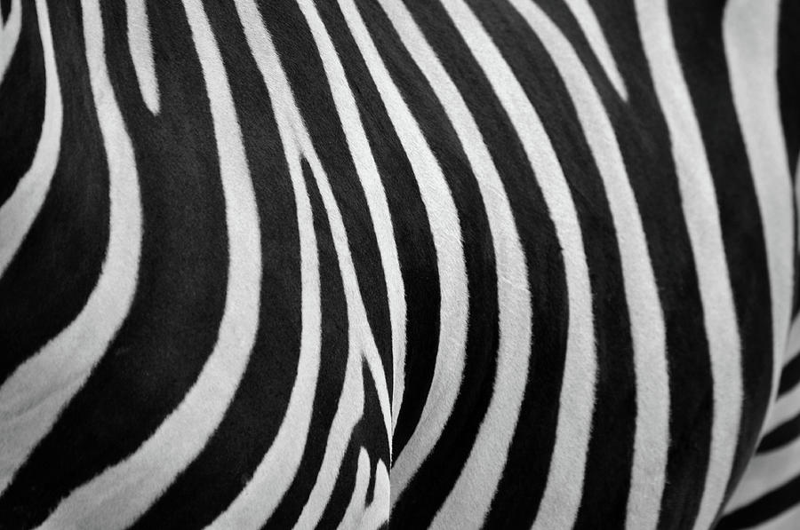 Abstraction Zebra Photograph by Rashed Alsikhan