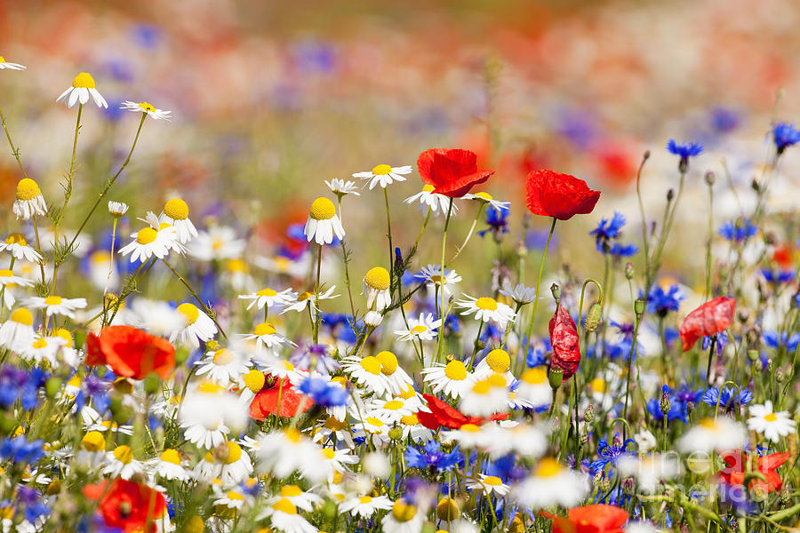 Country Photograph - Abundance Of Blooming Wild Flowers by Courtyardpix
