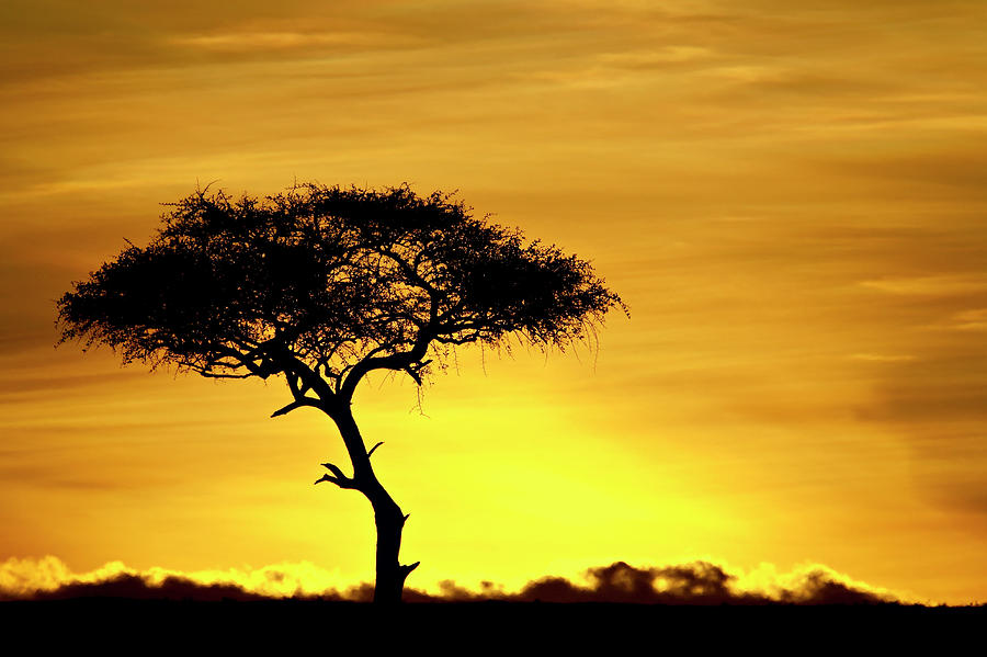 Acacia Tree At Dawn, Masai Mara Photograph by James Hager / Robertharding