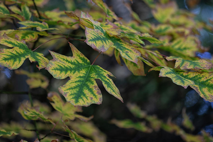 Acer Macrophyllum by Randy Hall