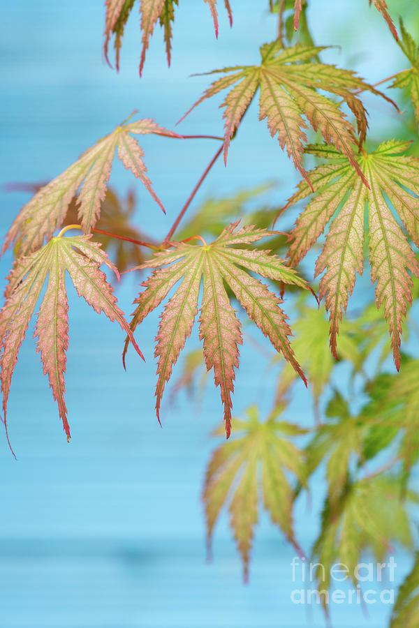 Acer palmatum Ariadne Foliage by Tim Gainey
