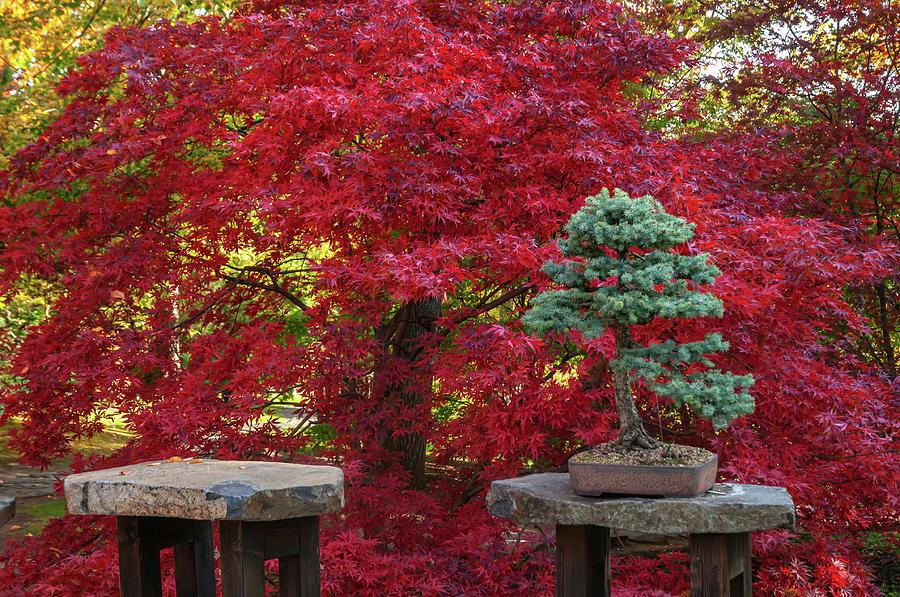 Acer Palmatum Chitoseyama and Black Pine Bonsai by Jenny Rainbow