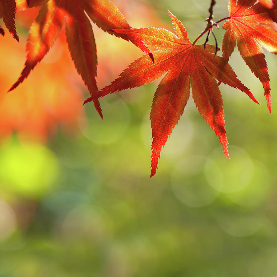 Acer Palmatum - Japanese Maple Photograph by Martin Wahlborg