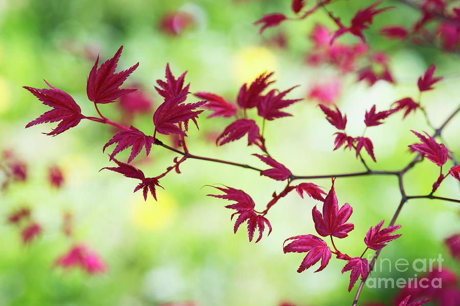 Acer Palmatum Shin Chishio Leaves by Tim Gainey