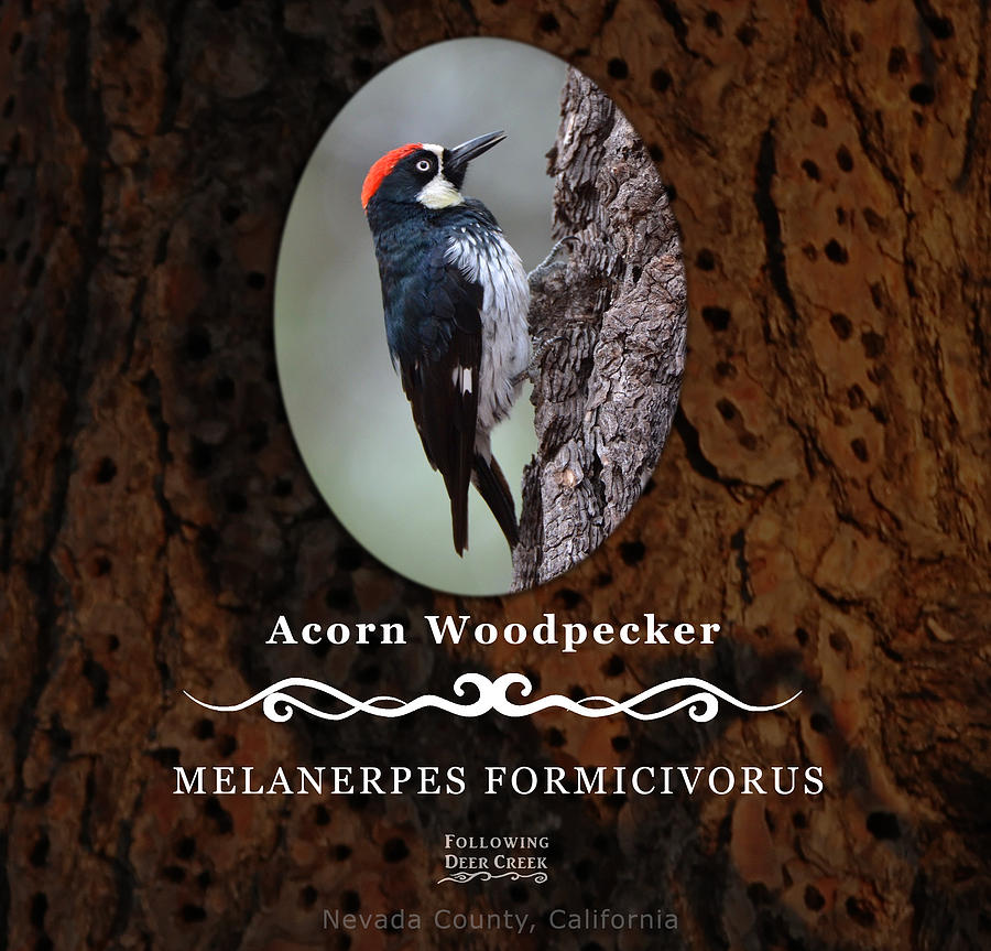 Acorn Woodpecker Granary Tree by Lisa Redfern