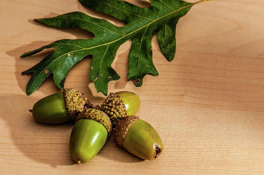Acorns from the Salem Oak Tree by Louis Dallara