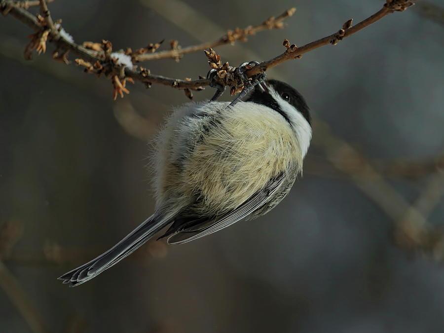 Acrobatic Chickadee by Dale Kauzlaric