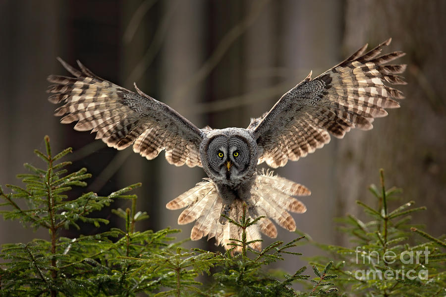 Feather Photograph - Action Scene From The Forest With Owl by Ondrej Prosicky