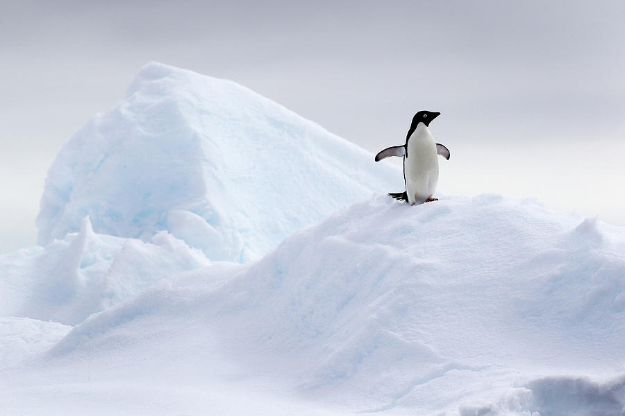Adelie Penguin On Ice Floe In The Photograph by Cultura Rf/brett Phibbs