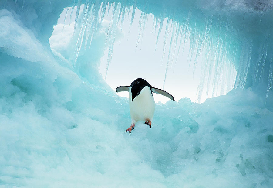 Adelie Penguin On Iceberg Photograph by Mike Hill