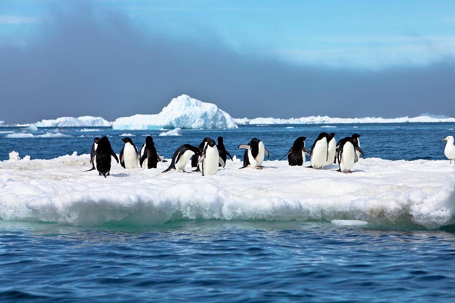 Adelie Penguins On Iceberg Paulet Photograph by Mof
