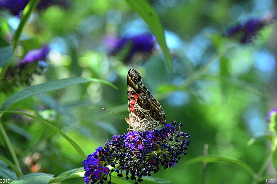Admiral Butterfly by Lisa Wooten