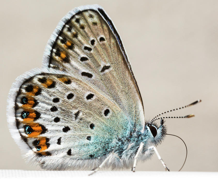Butterfly Photograph - Adonis Blue Butterfly by Iris Richardson