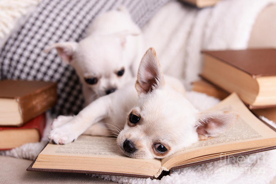 Small Photograph - Adorable Chihuahua Dogs With Books On by Africa Studio