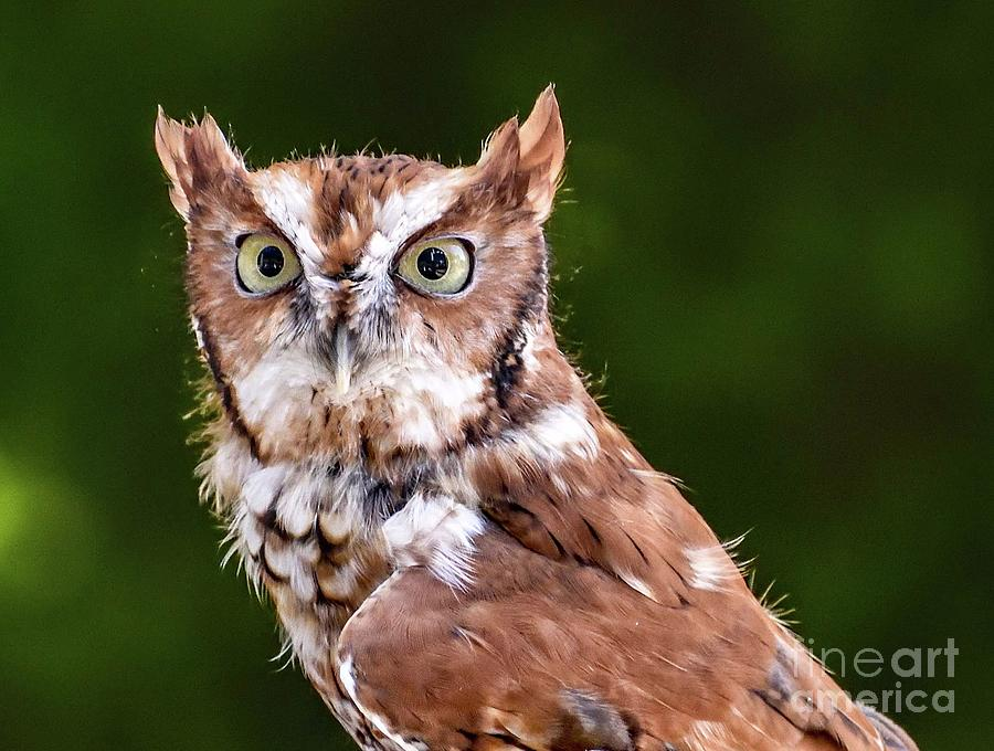 Adorable Eastern Screech-Owl by Cindy Treger