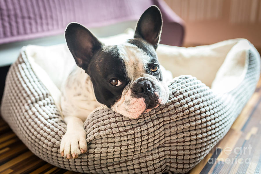 Bed Photograph - Adorable French Bulldog On The Lair by Patryk Kosmider