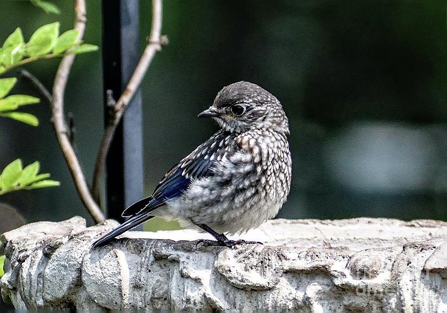 Adorable Juvenile Eastern Bluebird Photograph