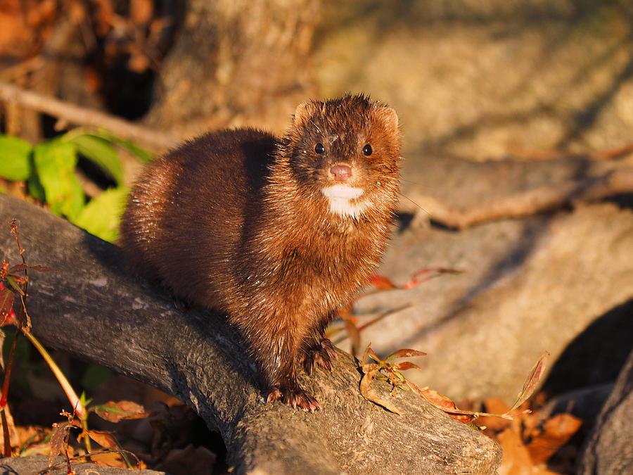 Peterson Photograph - Adorable Mink by James Peterson