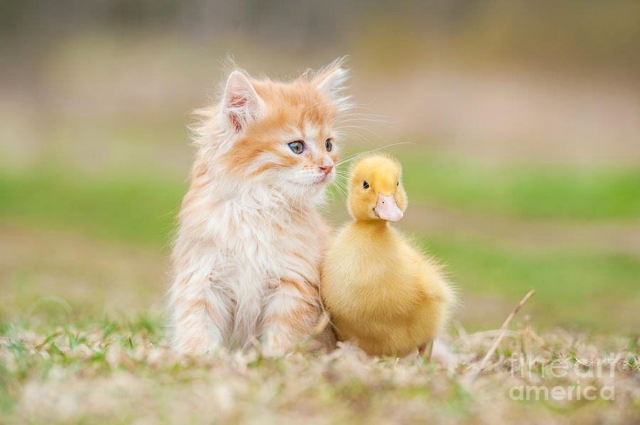 Play Photograph - Adorable Red Kitten With Little Duckling by Grigorita Ko