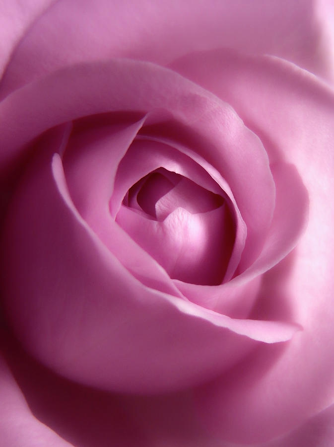 Adorable Soft Pink Rose For You by Johanna Hurmerinta