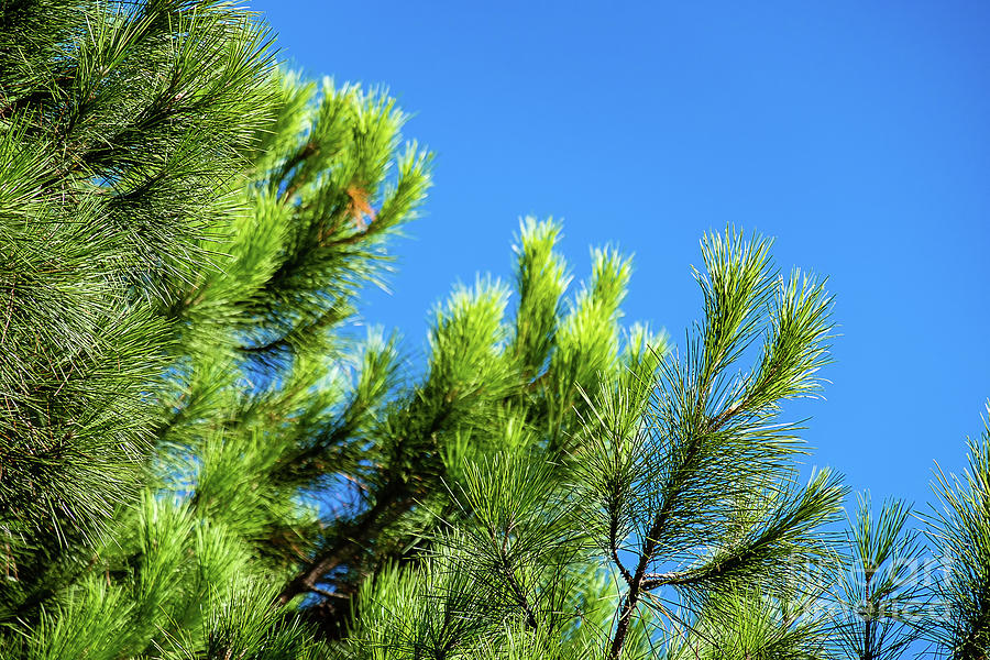 Adriatic pine against blue sky  by Marina Usmanskaya