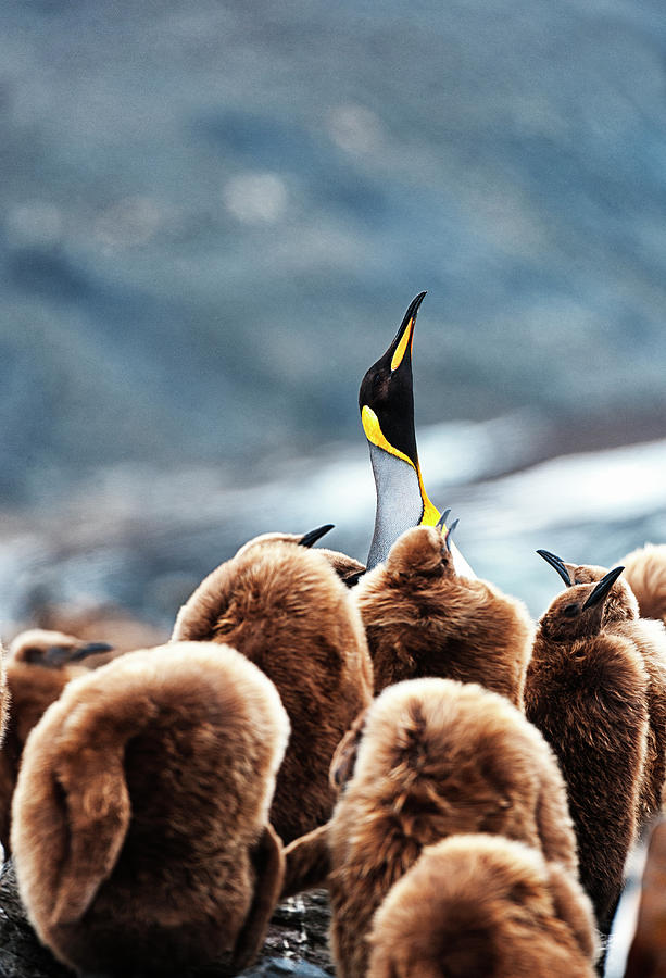 Adult And Immature King Penguins Photograph by Mike Hill