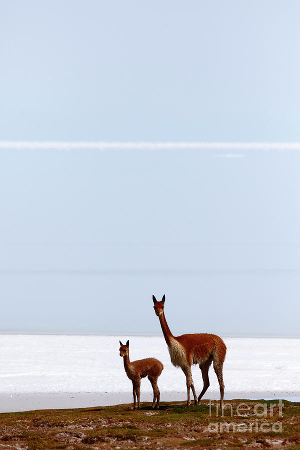 Adult and Young Vicuna by James Brunker