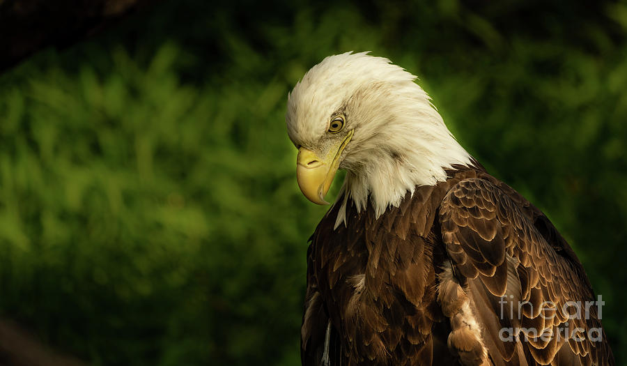 Adult bald eagle by Sam Rino