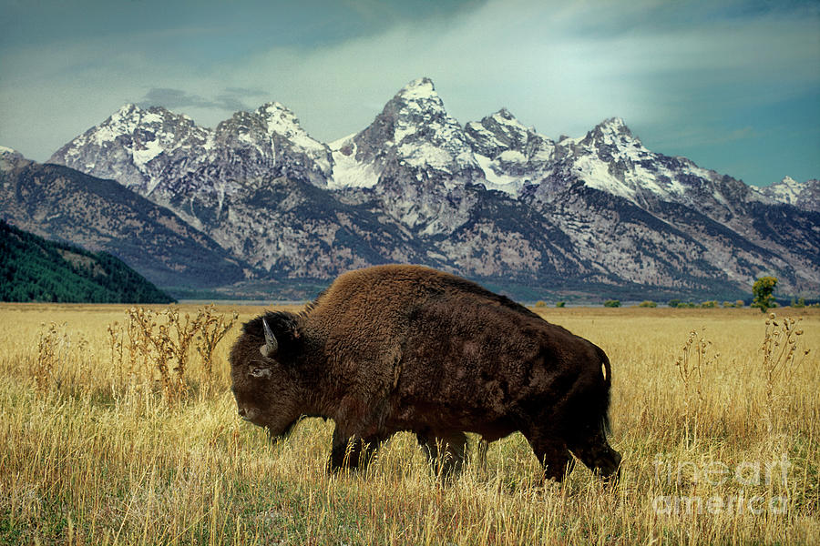 adult bison bison bison wild wyoming by Dave Welling