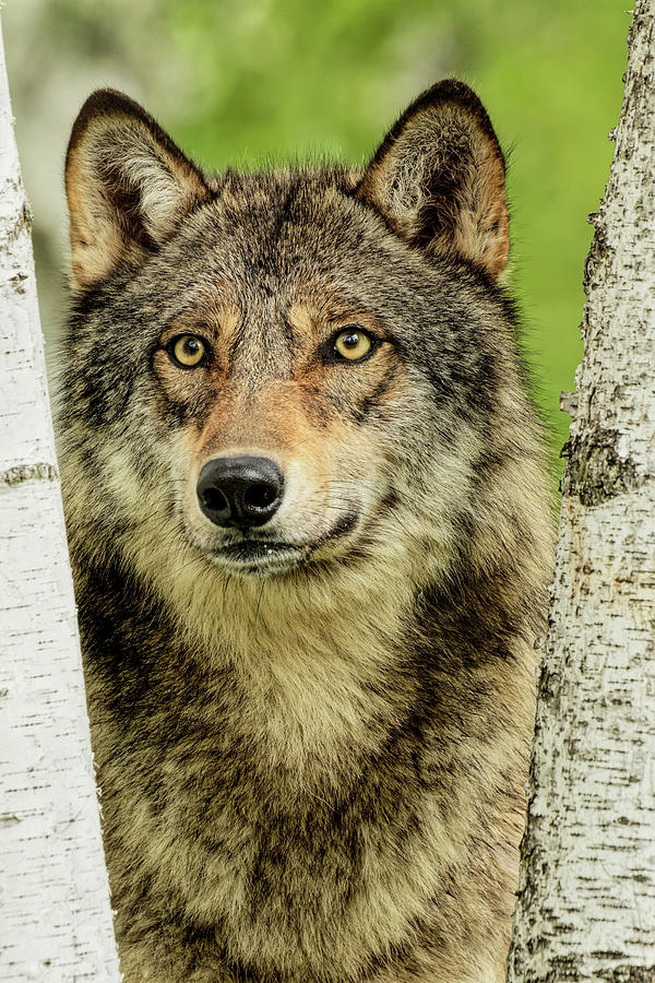 Adam Jones Photograph - Adult Gray Wolf Peering Around Birch by Adam Jones
