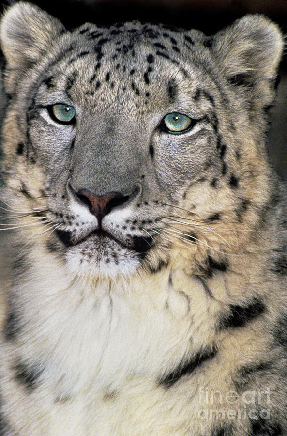 adult snow leopard panthera uncia wildlife rescue by Dave Welling