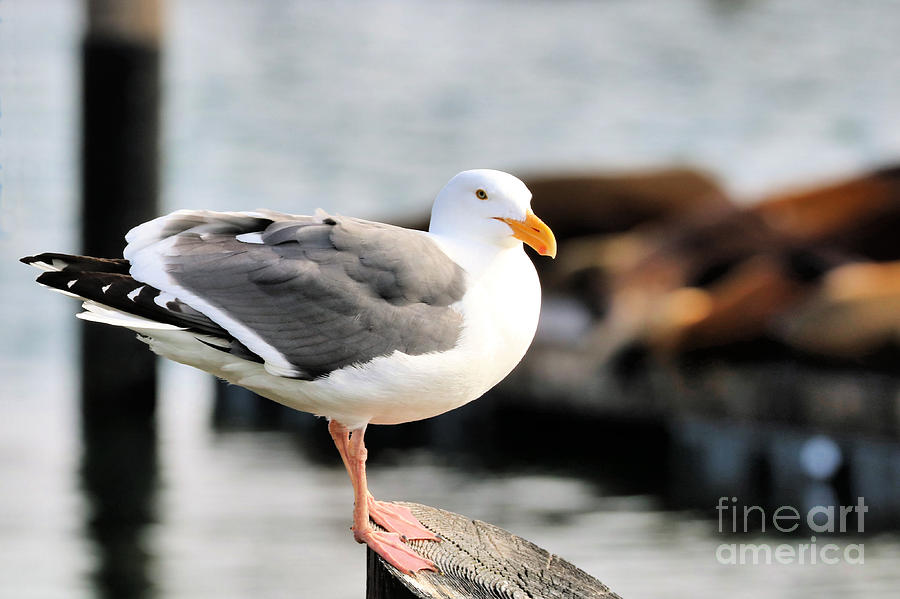 Adult Western Gull by Diann Fisher