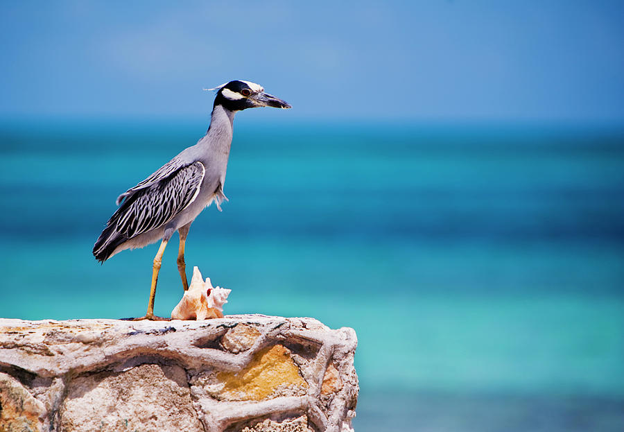 Adult Yellow-crowned Night-heron At Photograph by Michael Lawrence