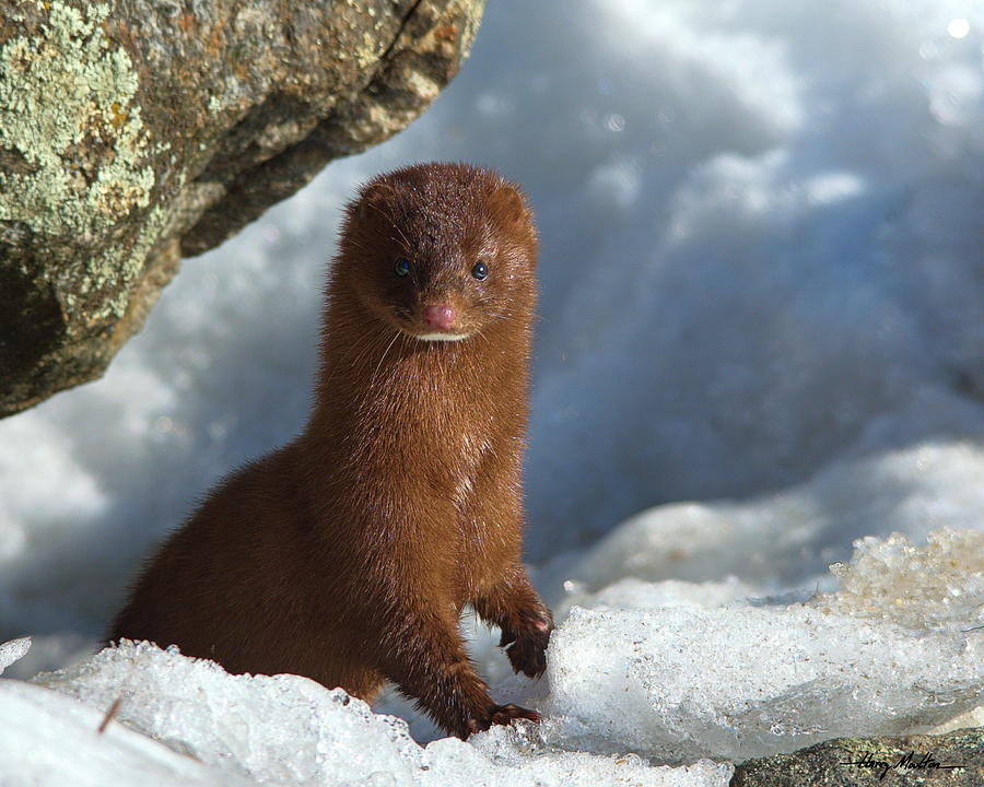 Adventurous Little Mink by Harry Moulton