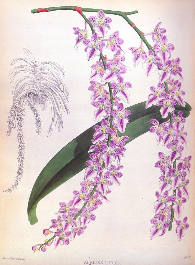 Aerides Lobbii Vintage Lindenia Orchid by Jean Jules Linden