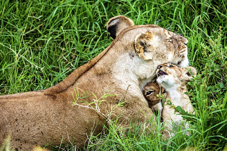 Affectionate Lioness With Playful Baby Cubs by Susan Schmitz
