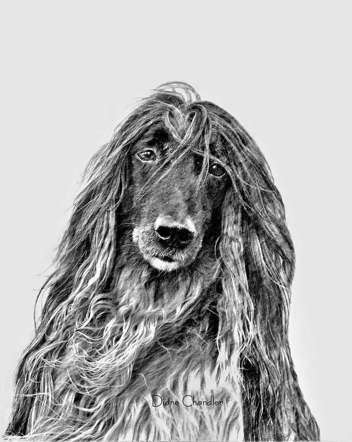 Afghan Hound 3 Digital Art by Diane Chandler