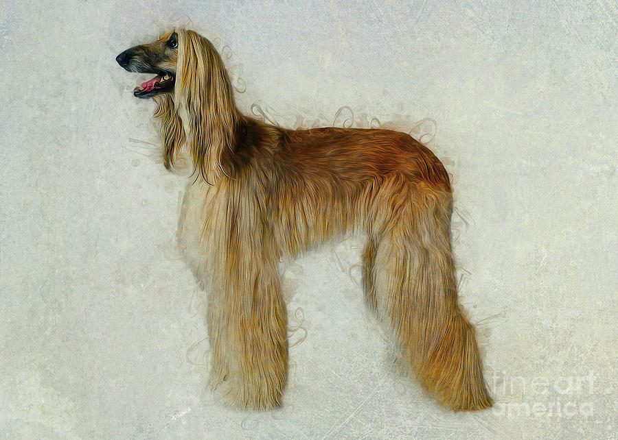 Afghan Hound by Ian Mitchell