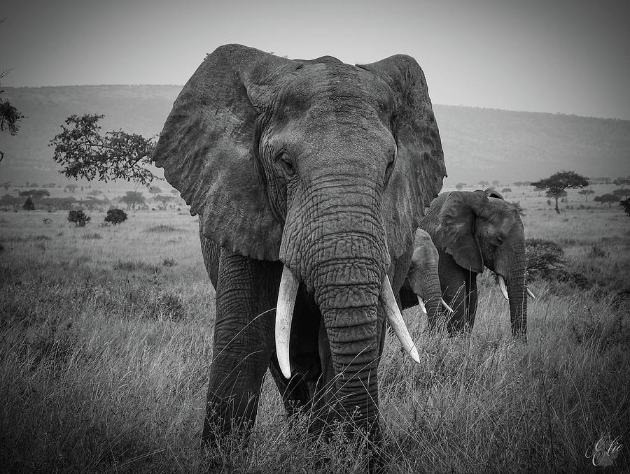 AFRICAN BULL ELEPHANT by Elie Wolf