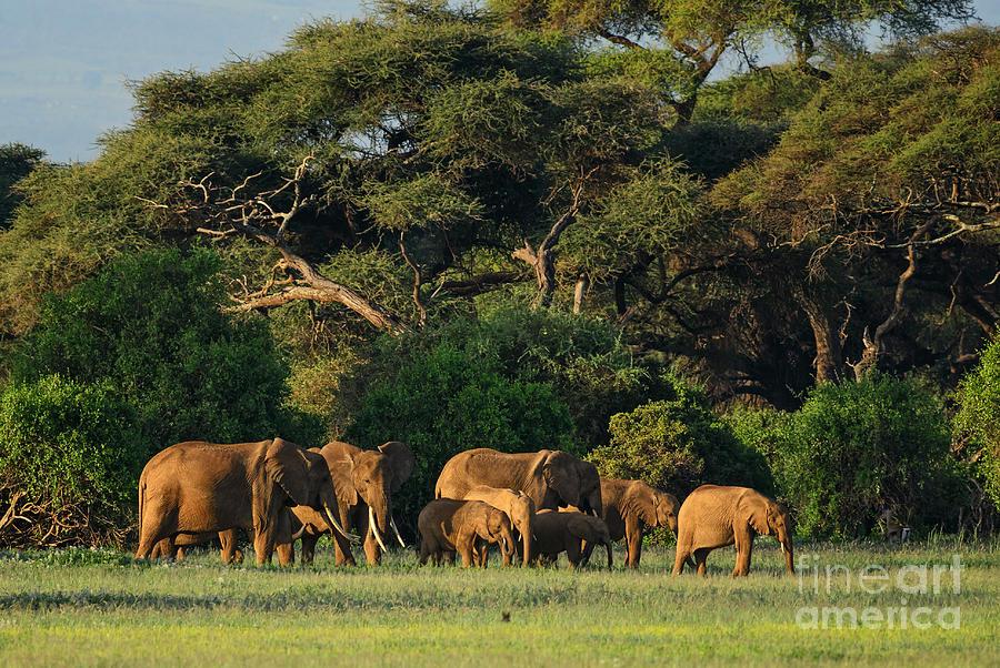 Republic Photograph - African Bush Elephant - Loxodonta by David Havel