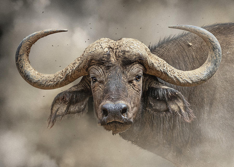 African Cape Buffalo Closeup by Susan Schmitz